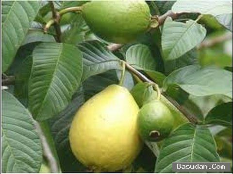 فائدة الجوافة للشعر طريقه استخدام