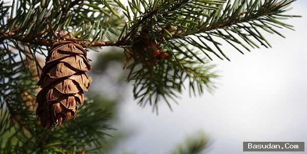 الأشجار الحرجية انواع الأشجار الحرجية