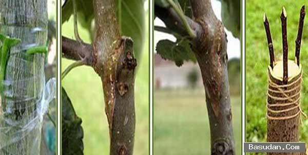 تطعيم الأشجار تكثير الأشجار