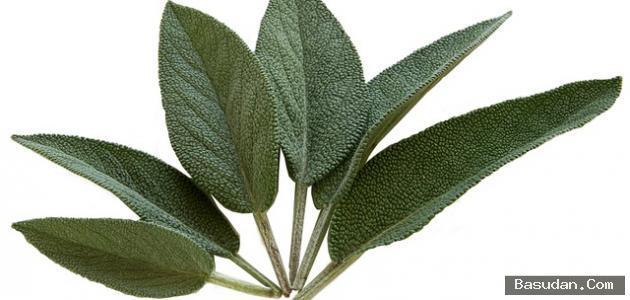 فوائد الميرمية للبشرة استخدامات الميرمية