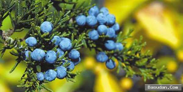 فوائد العرعر للشعر أهمية نبات