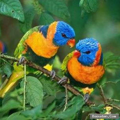 تغريد الطيور للسيطرة والتزواج