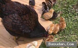 فوائد البروتين الدجاج والبط لإطاله